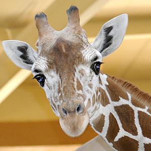 Giraffe at Baltimore Zoo