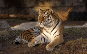 St Louis Zoo Tiger