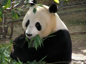 panda-655491_1280
