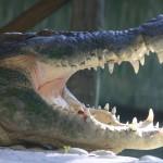 Alligator at the Alligator Farm