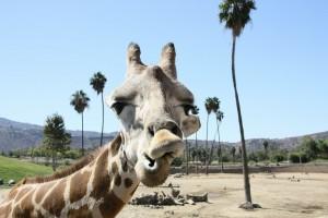 giraffe-569449_640