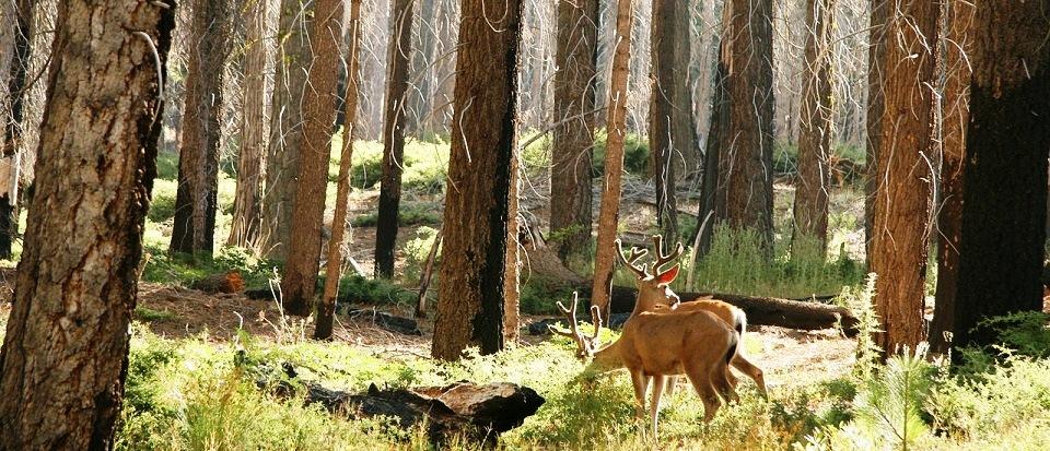 deer yosemite