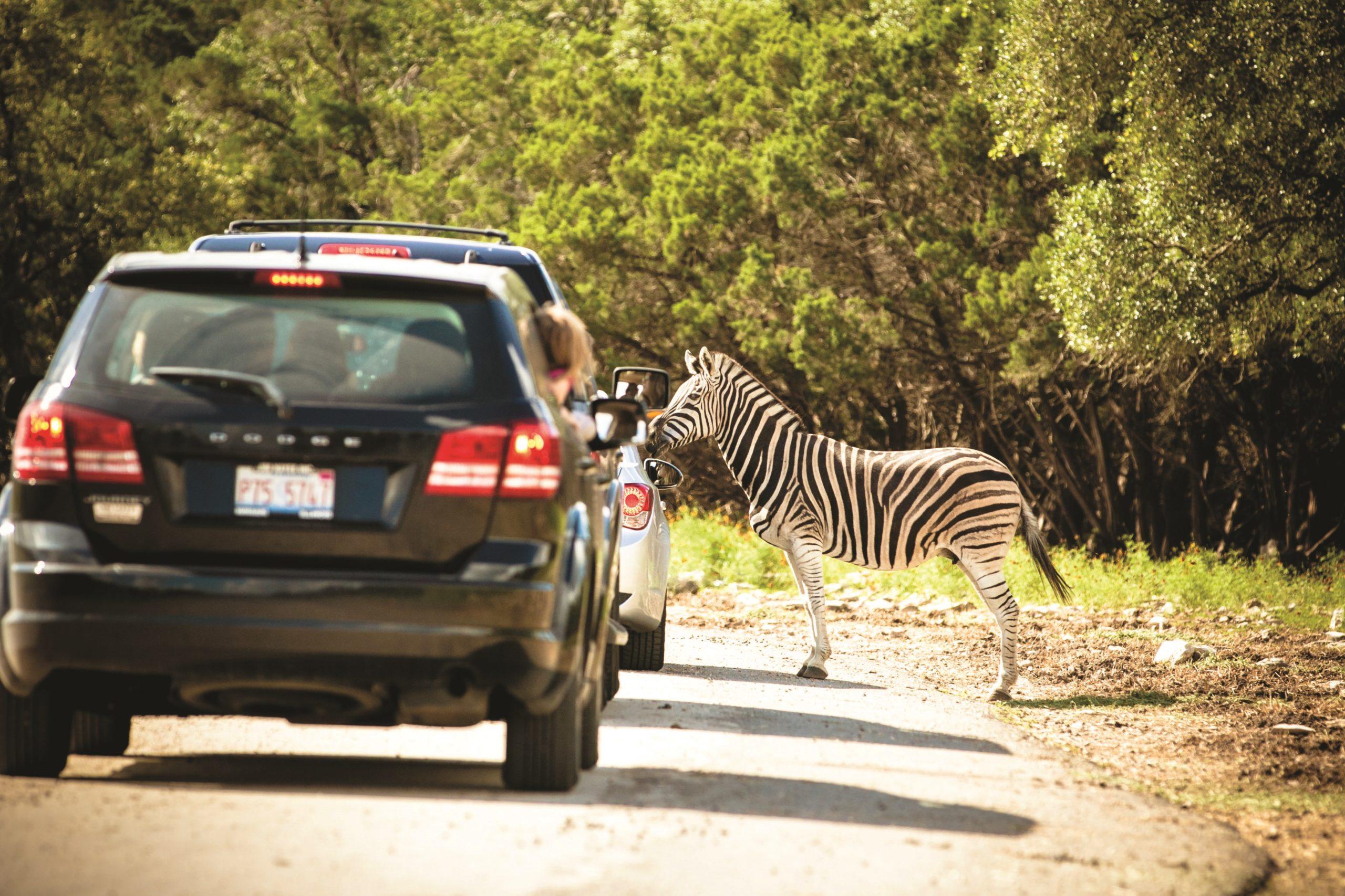 Natural Bridge Wildlife Ranch Zebra Courtesy of visitsanantonio.com