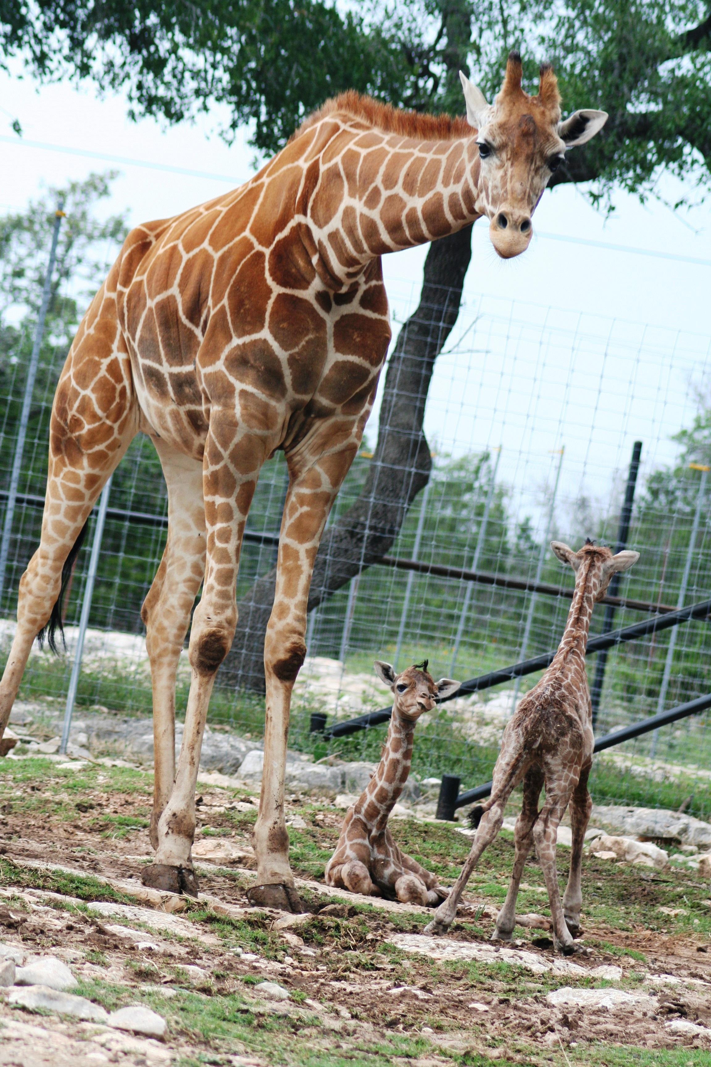 Twin_giraffes_born_at_Natural_Bridge_Wildlife_Ranch