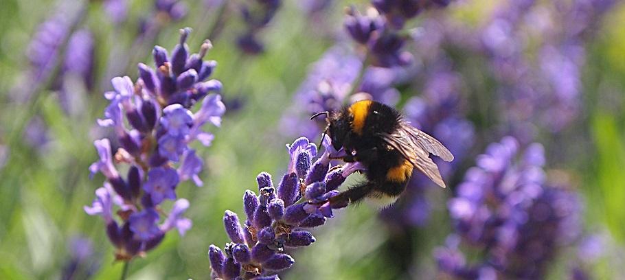 lavender-850862_1920