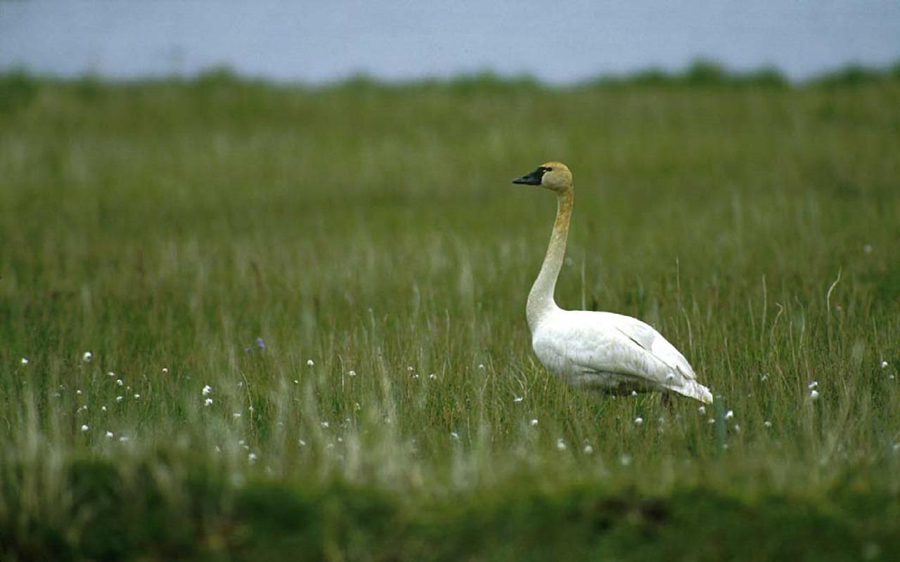 Tundra Swan Virginia Beach Pixabay Public Domain