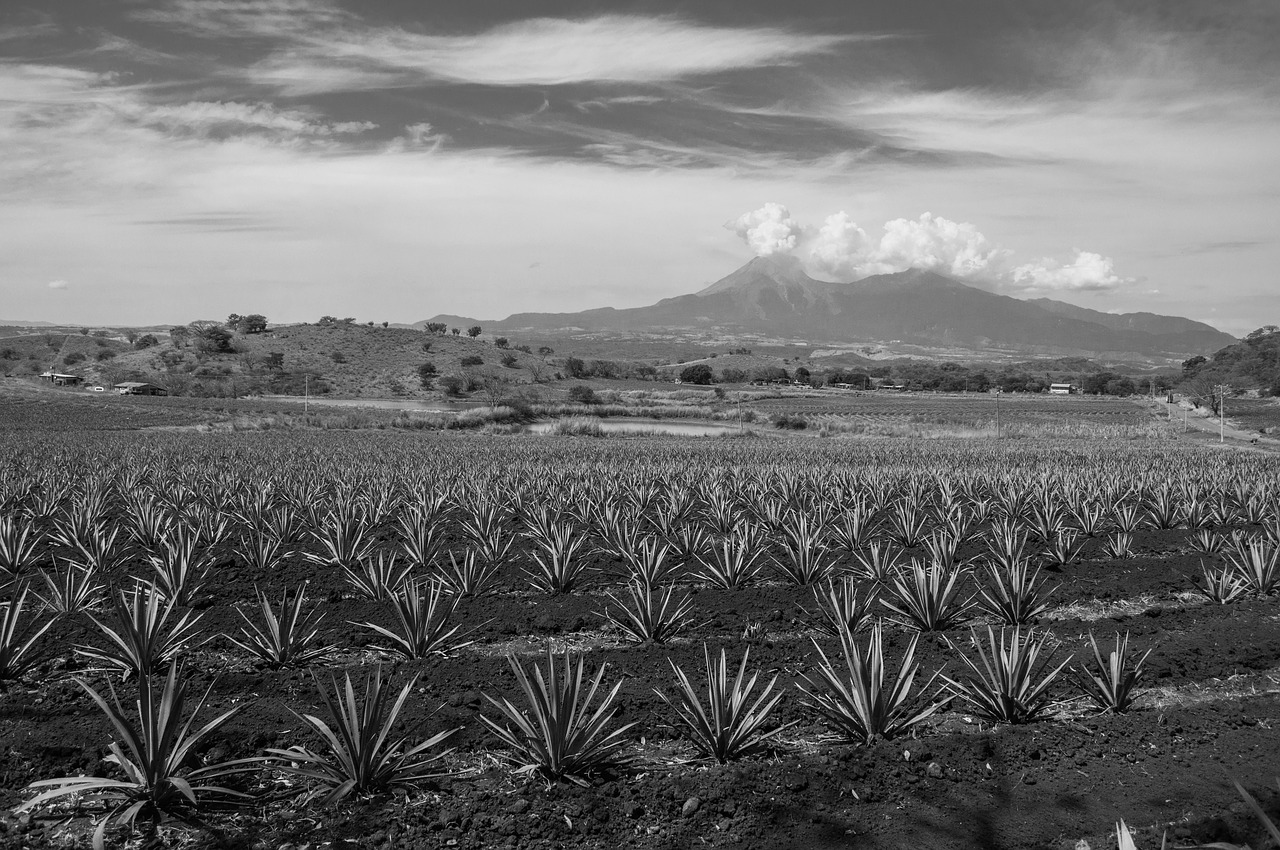 Agave Field Pixabay Public Domain