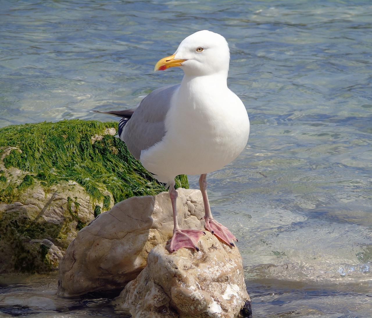Seagull - Pixabay Public Domain