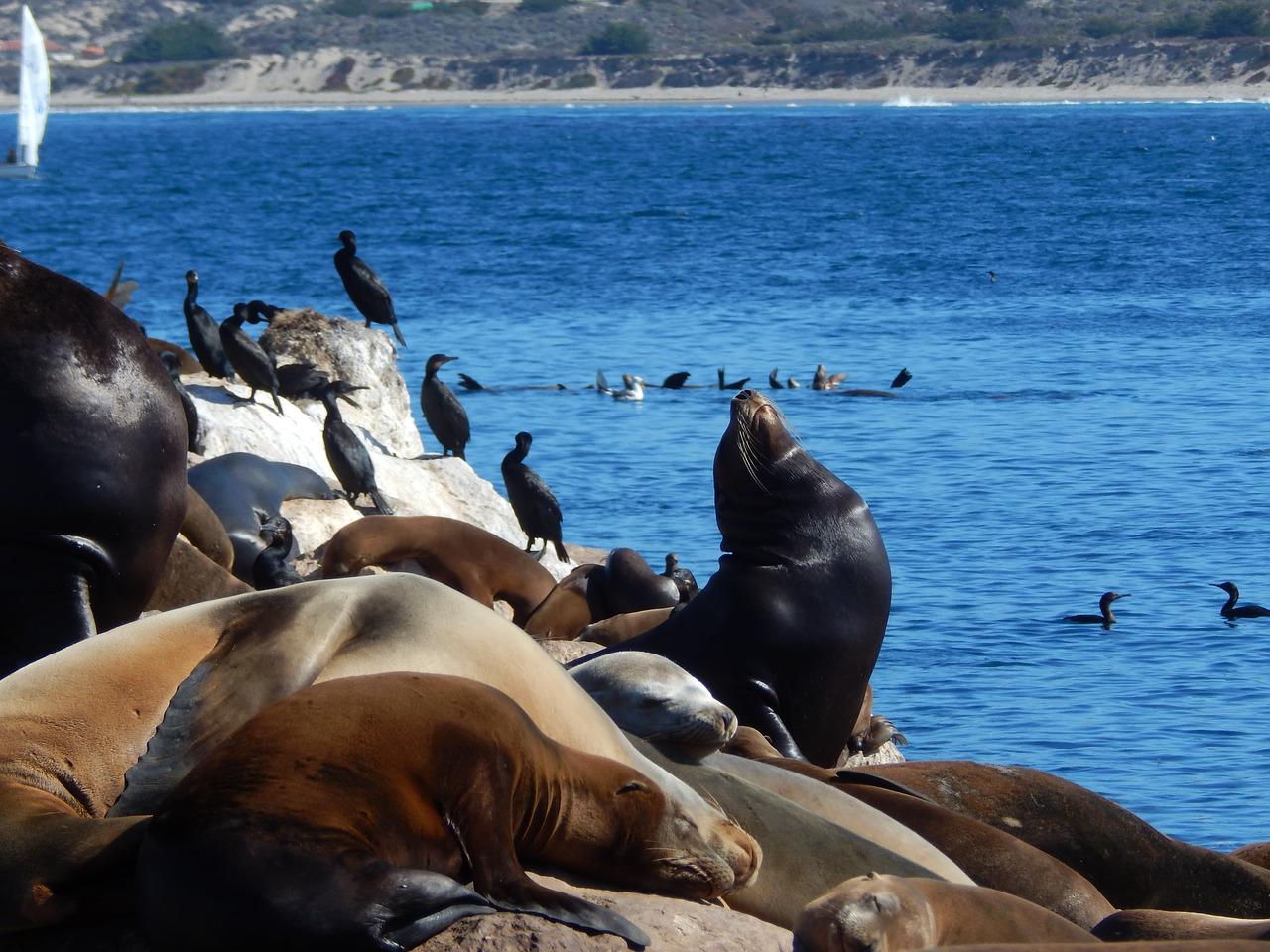 Sea Lions Monterey Bay - Pixabay - Public Domain