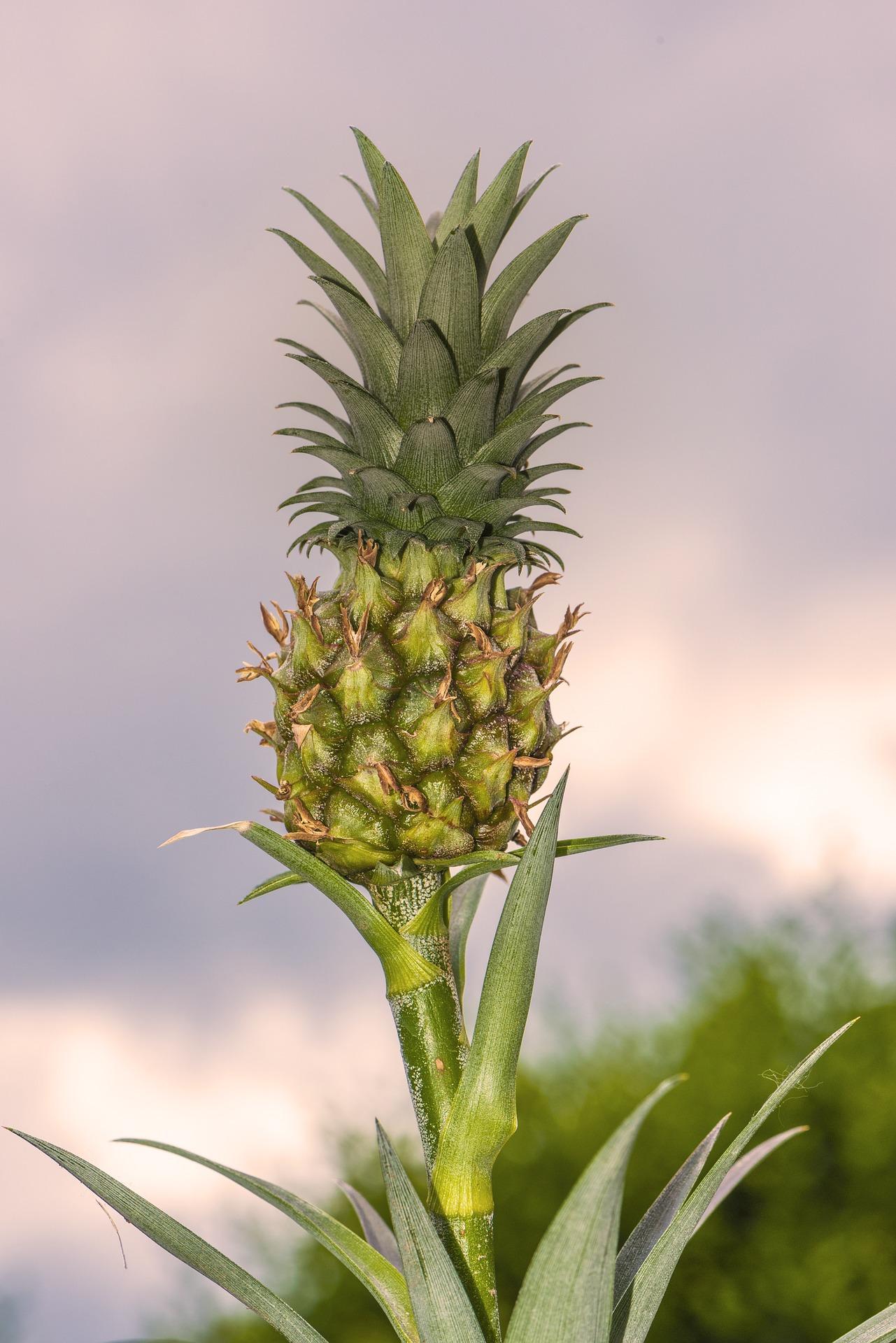 Local Pineapple Pixabay Public Domain