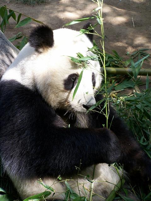 Giant Panda San Diego Zoo Pixabay Public Domain