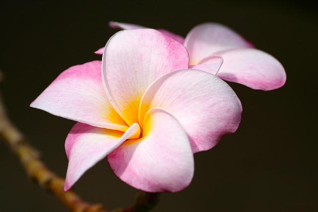 Plumeria Hawaii Pixabay Public Domain